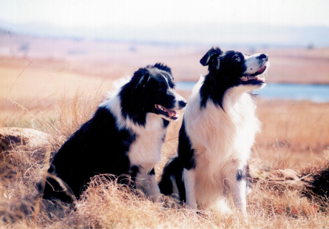 Venron Border Collies, South Africa