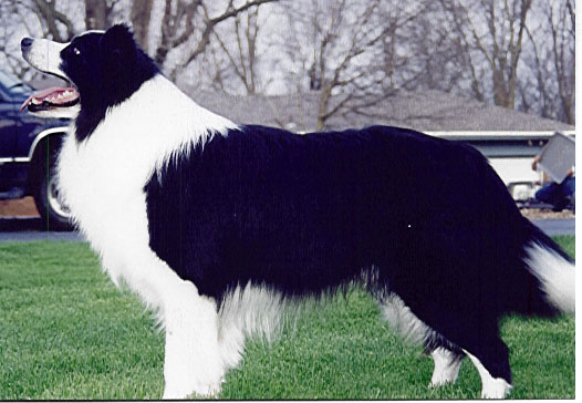Cindora Charlie Chalton at Beagold, first import for Venron Border Collies
