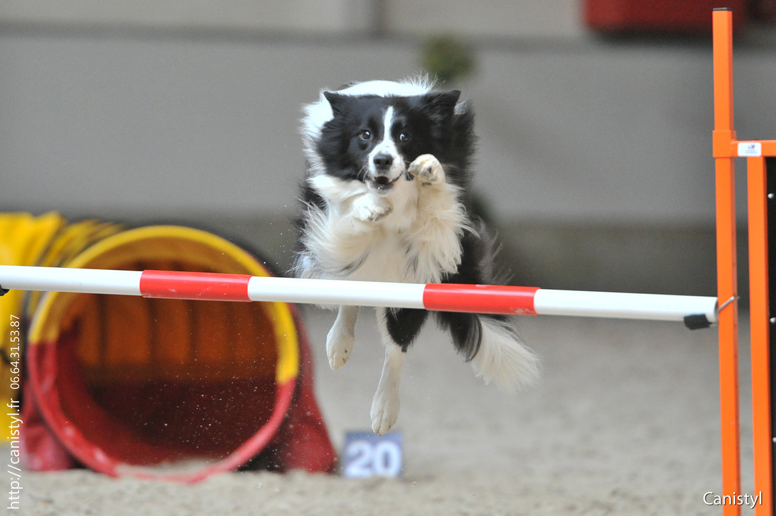 Stardust at the European Open Agility Championships