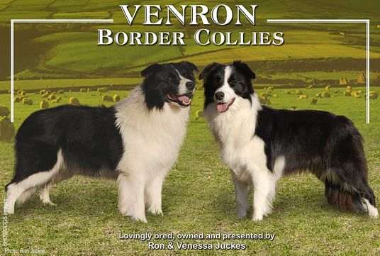 Venron Border Collies; Gauteng; South Africa