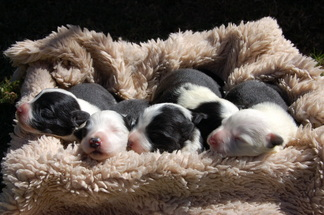Border collie pups in South Africa
